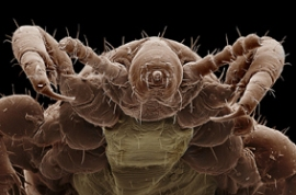 headlouse