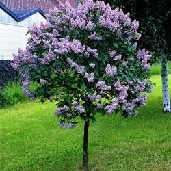 lilactree
