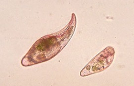 protozoareal